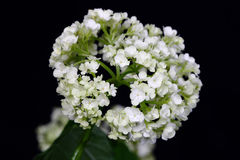 Delicate flower white hydrangea  on dark background. Royalty Free Stock Photo