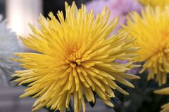 Delicate flower of a yellow chrysanthemum Stock Photo