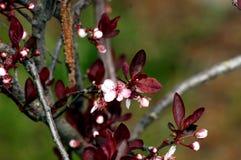 Delicate flowering Of the Blood Plum Prunus cerasifera. Springtime in the Garden stock photos