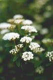Delicate flowering bush. In spring garden Stock Image