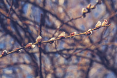 Delicate flowering willow branch with icicles Royalty Free Stock Photo