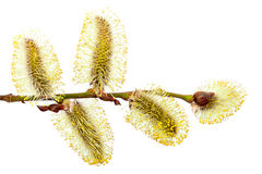 Delicate flowering willow branch. Stock Photos