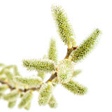 Delicate flowering willow branch on white background. Stock Images