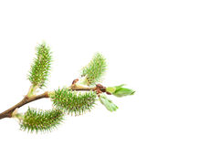 Delicate flowering willow branch on white. Royalty Free Stock Photos