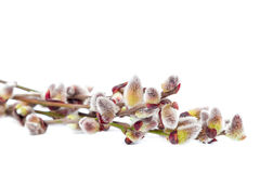 Delicate flowering willow branch on white. Royalty Free Stock Image