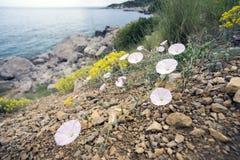 Delicate flowers of bindweed. Stock Photo