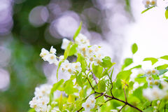 Delicate flowers on a branch of jasmine Stock Images
