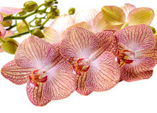 Delicate flowers and buds spotted orchid phalaenopsis isolate Stock Photo