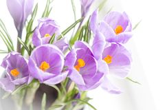 Delicate flowers of crocus bloomed on the windowsill royalty free stock photography