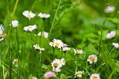 Delicate flowers of daisies, springtime Stock Photo