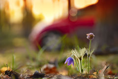 Delicate flowers dream of grass in a spring forest and a blurred silhouette of a car Stock Photos