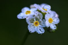 Delicate flowers. Little flowers looking transparent covered with morning dew Stock Photos