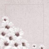 Delicate flowers pink chrysanthemum Royalty Free Stock Photos
