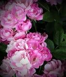 Delicate flowers roses. Beautiful large rosebuds stock photo