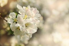 Delicate flowers of spring fruit trees Stock Photo