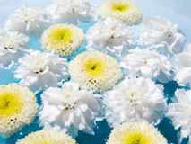 Delicate Flowers on Water. Delicate white flowers floating on water Royalty Free Stock Photos