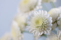 Delicate flowers of white chrysanthemums on gray Royalty Free Stock Photos