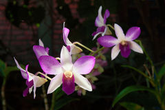 Delicate flowers white -pink orchids in a tropical garden Royalty Free Stock Image