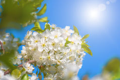 Delicate flowers and young leaves of cherry wood Stock Photos