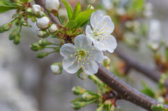 Delicate flowers and young leaves of cherry wood Royalty Free Stock Images
