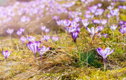 Delicate fragile crocuses at early spring in sunlit meadow Stock Images
