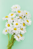 Delicate fragile daisies Royalty Free Stock Photo