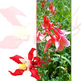 Delicate  fresh red  Columbine flowers and petals illustration Stock Images