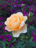 Pale Yellow Rose Growing in Purple Flower Bed. A delicate fully flowered or bloomed pale yellow rose, with two budding roses, growing in a flower bed garden with Royalty Free Stock Photo