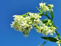 Delicate garden horseradish flowers royalty free stock photo