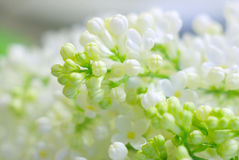 Delicate gentle flower white Stock Photos