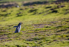 Delicate gentoo penguin in lush spring meadow of the Arctic Royalty Free Stock Photo