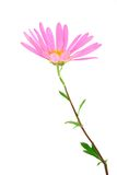 Delicate gerbera daisy Stock Photography