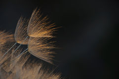 Delicate, giant dandelion in orange blaze Royalty Free Stock Photography