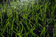 Delicate grass stalks in the garden, backlit under water drops royalty free stock image