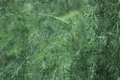Delicate green asparagus close-up Royalty Free Stock Photography