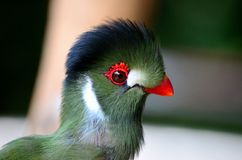 Delicate green Turaco bird with red beak white pat. Singapore - August 20, 2014: The head of a small, delicate green bird with a red beak . The bird has white royalty free stock photos