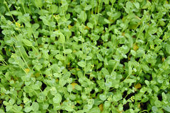 Green sprouts. Delicate green sprouts under sunshine in spring Royalty Free Stock Photography