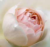 Delicate high key beige rose  floral background Royalty Free Stock Photos