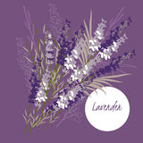 Delicate   illustration lavender flower Royalty Free Stock Photography