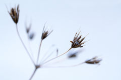 Delicate inflorescence of an overblown umbelliferae Stock Images