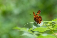 Delicate injured orange butterfly Polygonia c-album resting on a leaf Royalty Free Stock Photo