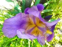 Delicate iris. Iris flowers are known to man since ancient times Royalty Free Stock Photography