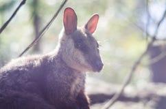 Delicate kangaroo portrait Stock Image