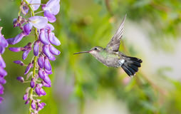 Delicate lavender petals of purple wisteria blooms with hummingb Royalty Free Stock Images