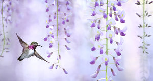Delicate lavender petals of purple wisteria blooms Royalty Free Stock Photo