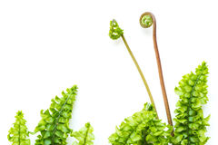Delicate light green fern leaves. On white background Stock Images