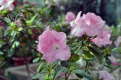 Delicate light pink azalea flowers. In the garden. Season of flowering azaleas Royalty Free Stock Image