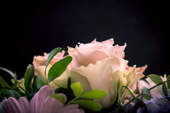 Delicate light-pink roses closeup profiled on a black and other flowers background. Delicate light-pink roses closeup profiled with a focus on one flower on a Stock Images