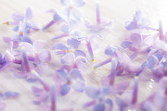 Delicate light purple lilac flower petals on a white background Stock Photos