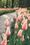 Delicate light tulips vertical background.  Pink tulips in the flower garden, arboretum with sunlight. Flower vertical banner. stock photos